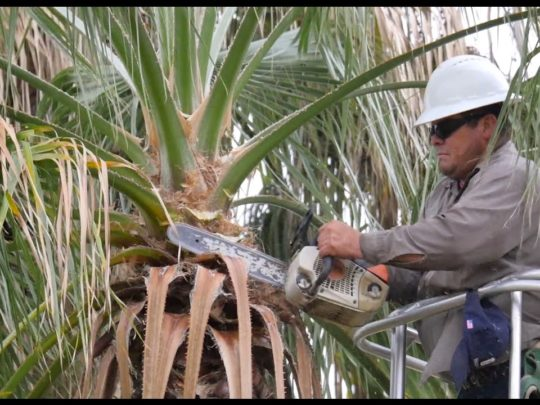 How much does it cost to trim tall palm trees-Florida Tree Service Pros-We Offer Tree Trimming Services, Tree Removal, Tree Pruning, Tree Cutting, Residential and Commercial Tree Trimming Services, Storm Damage, Emergency Tree Removal, Land Clearing, Tree Companies, Tree Care Service, Stump Grinding, and we're the Best Tree Trimming Company Near You Guaranteed!