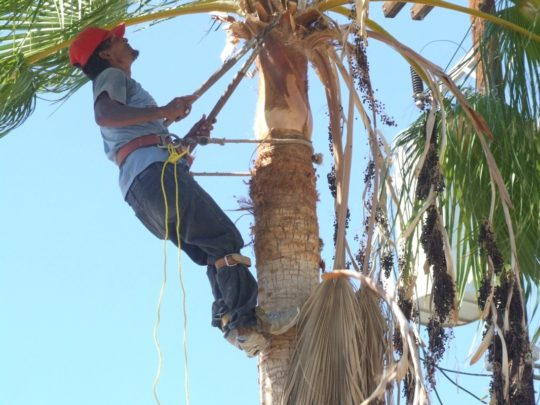 Palm tree cutting service-Florida Tree Service Pros-We Offer Tree Trimming Services, Tree Removal, Tree Pruning, Tree Cutting, Residential and Commercial Tree Trimming Services, Storm Damage, Emergency Tree Removal, Land Clearing, Tree Companies, Tree Care Service, Stump Grinding, and we're the Best Tree Trimming Company Near You Guaranteed!