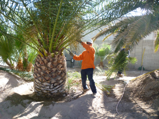Palm Tree Service Near Me Florida Tree Service Pros