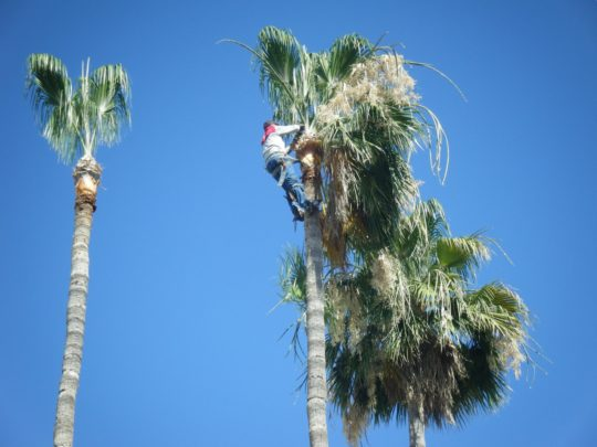 Palm tree trimming near me Florida-Florida Tree Service Pros-We Offer Tree Trimming Services, Tree Removal, Tree Pruning, Tree Cutting, Residential and Commercial Tree Trimming Services, Storm Damage, Emergency Tree Removal, Land Clearing, Tree Companies, Tree Care Service, Stump Grinding, and we're the Best Tree Trimming Company Near You Guaranteed!